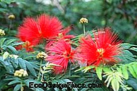 Caliandra arba Sponjinha (Calliandra brevipes)