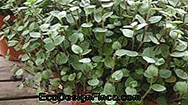 Money-in-Penca (Callisia repens)