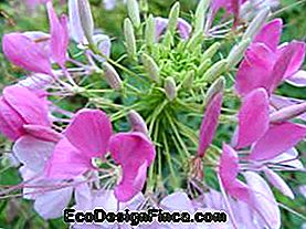 cleome spider-flower