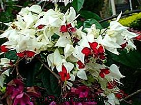 Clerodendron (Clerodendon x speciosum)