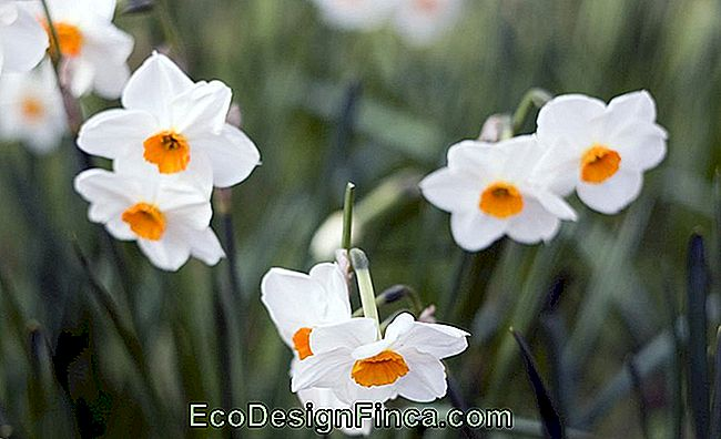 Narkisss (Narcissus)