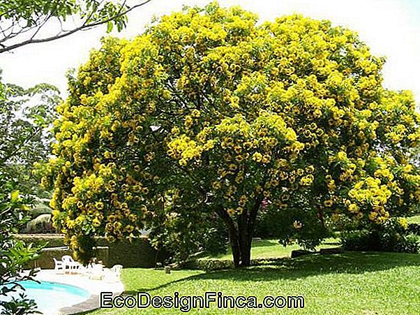False-Barbatimão (Cassia Leptophylla)