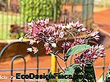 feng shui un clerodendron