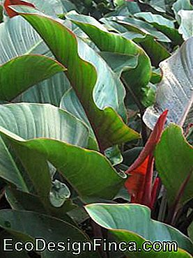 Imperial Philodendron (Philodendron speciosum)