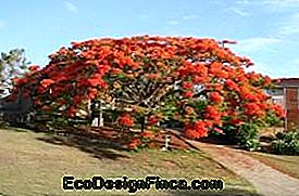 Flamboyant / Poinciana