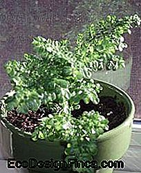 Dineren (Pilea microphylla) in pot
