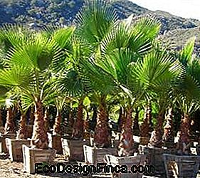 washingtonia robusta palmier