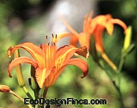 Day Lily (Hemerocallis fulva)