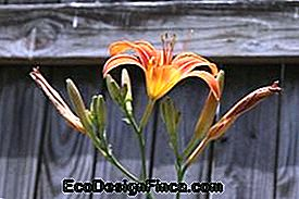 Orange Day Lily (Hemulocallis fulva)