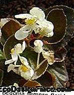 begonia_sempreflorida