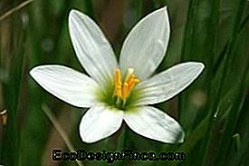 Wind Lily (Zephyranthes)