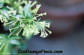 """Night Jasmine"" (""Cestrum nocturnum"")"