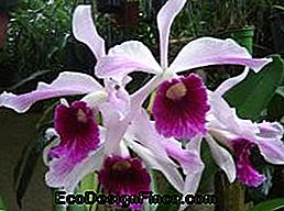 Lelia Purple (Laelia Purpurata)