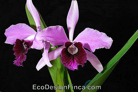Lelija Purple (Laelia Purpurata)