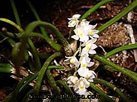Orchid capanemia overbodig (Capranemia overbodig)