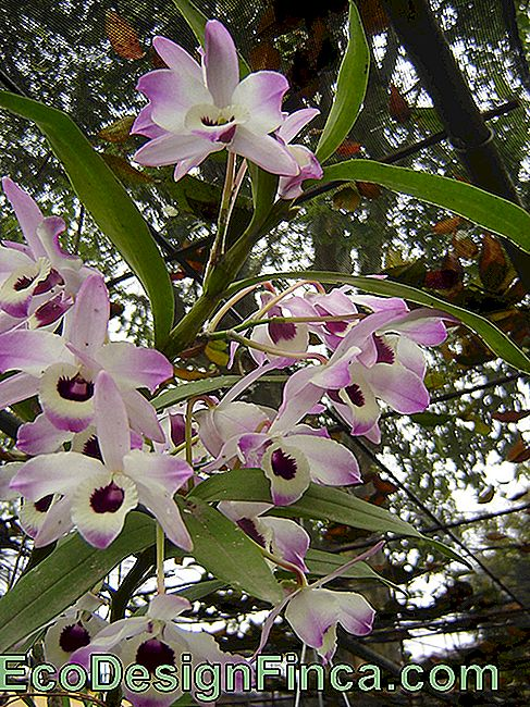Orchideen-Babypuppe (Dendrobium Nobile)