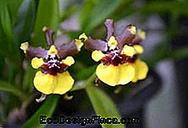 Mini-orchidée au chocolat (Oncidium Croesus)