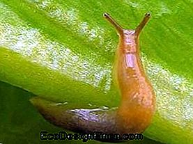 Garden Pests - Slug