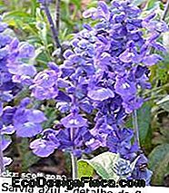 salvia_azul_close