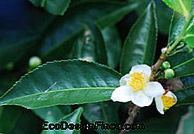 Tè dell'India (Camellia sinensis)