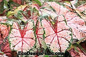 Tinadium of Caladium (Caladium)