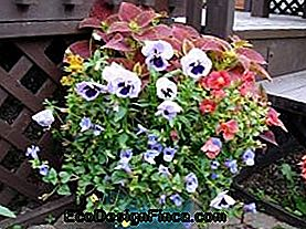 Torenia of Summer Love (Torenia fournieri Linden)