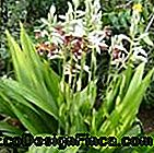 Photo n.1 Phaius tankervilleae