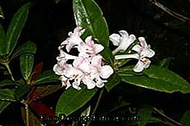 Rhododendron lambianum